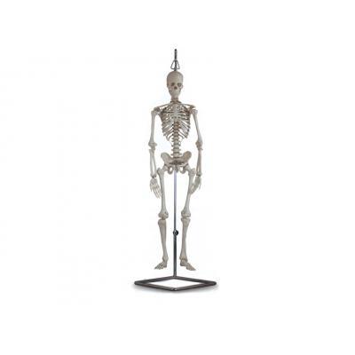 Skelet wervelkolom schedel