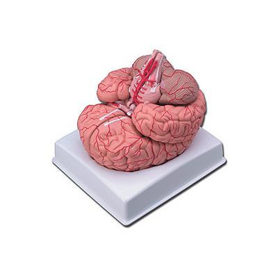 organen