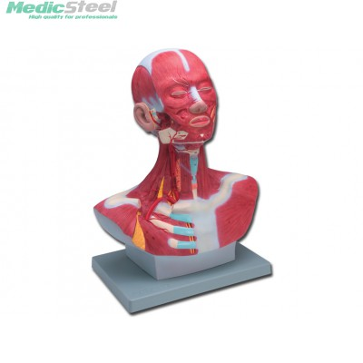 HEAD AND NECK MUSCULATURE 46 CM