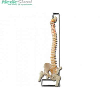 VERTEBRAL COLUMN - with femur heads