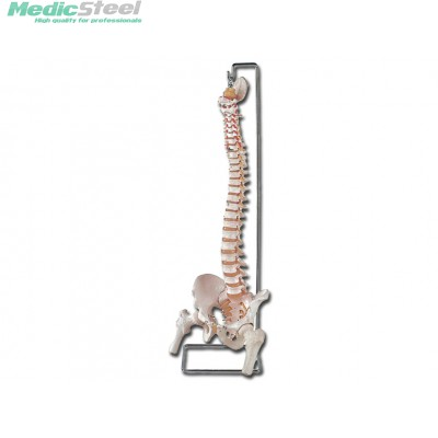 VERTEBRAL COLUMN - with femur + open sacrum