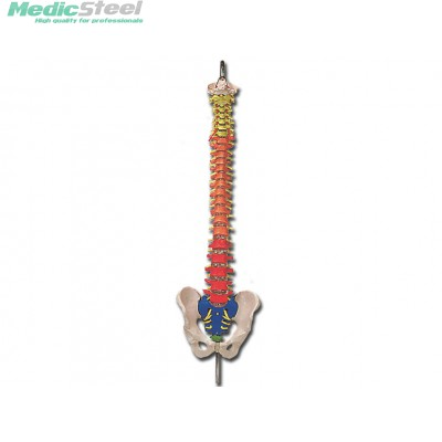 SPINAL COLUMN - with colour coded regions
