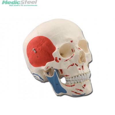 HUMAN SKULL - muscolar