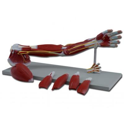ARM MUSCLE 74 CM