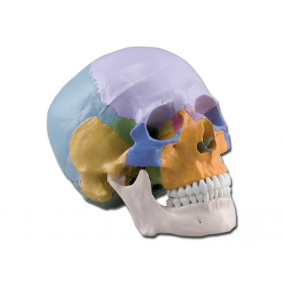 HUMAN SKULL  - coloured