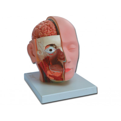 HEAD DISSECTION - 4 parts