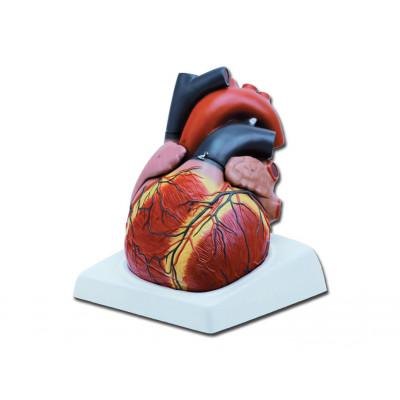 HEART - 4 parts