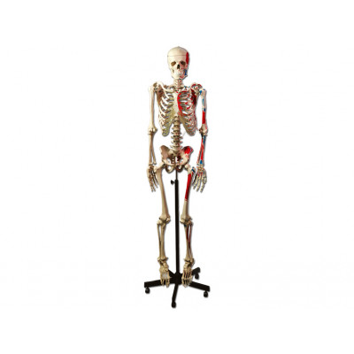 MUSCULAR HUMAN SKELETON 170 CM