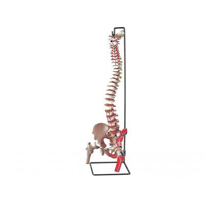 VERTEBRAL COLUMN - with femur + muscle