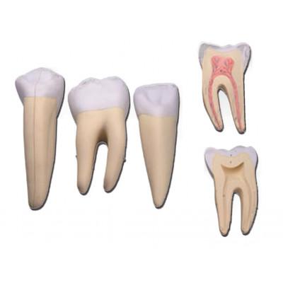 3 TEETH SET (incisor, canine and molar)